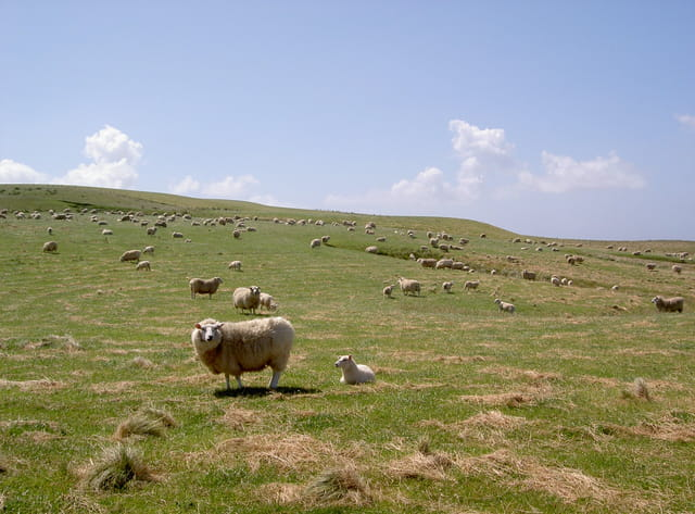 Les célèbres moutons nz