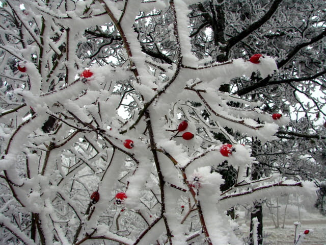Les cerises de l'hiver