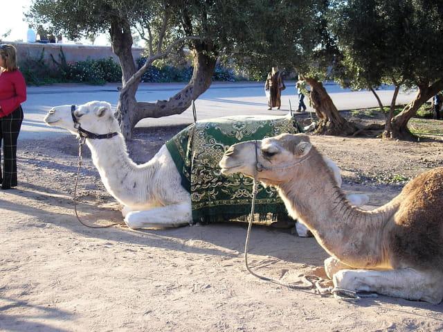 Les chameaux de la Ménara