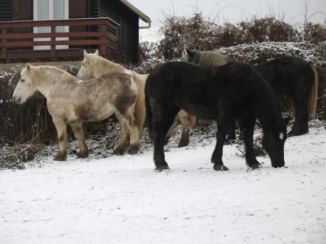 Les chevaux du lac