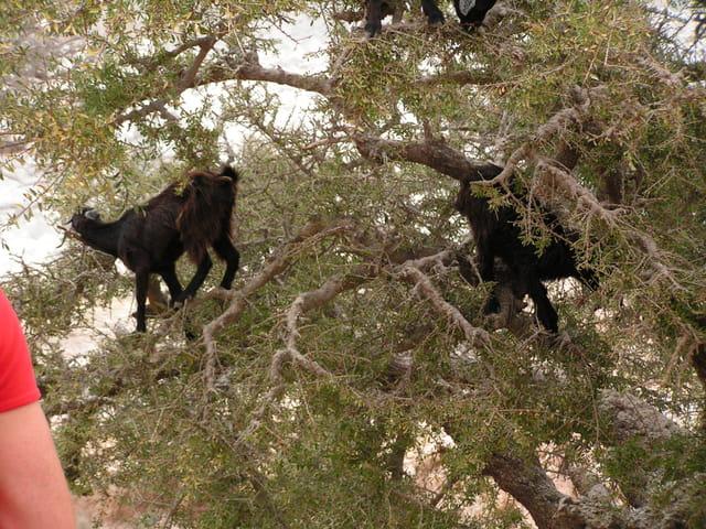 Les chèvres dans les arbres