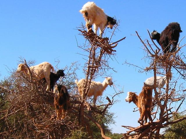 Les chèvres..en grimpette !!