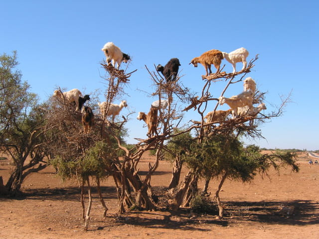 Les chèvres sur arbre perchées