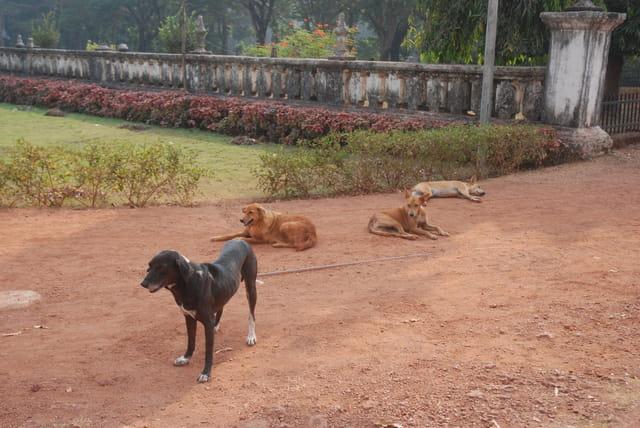 les chiens de Goa