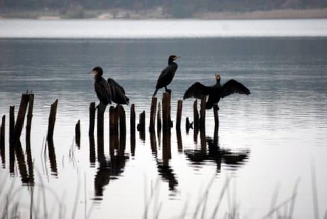 les cormorans au lever du soleil