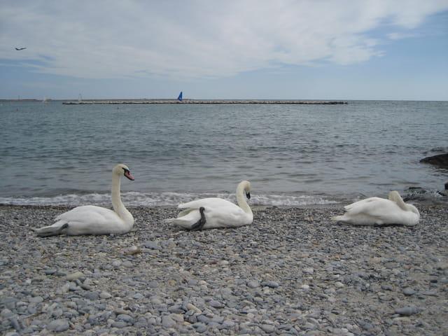 Les Cygnes au bord de mer