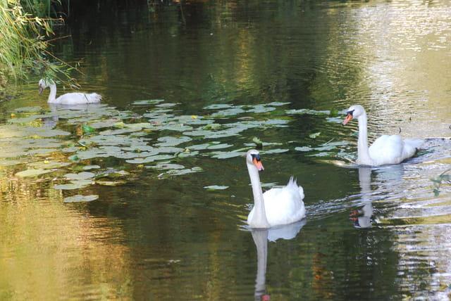 les cygnes du lac de Sanguinet