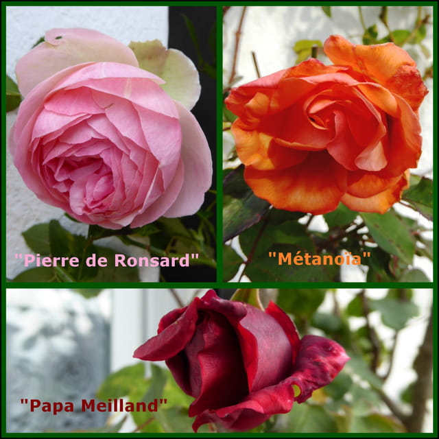 Les dernières roses à fleurir