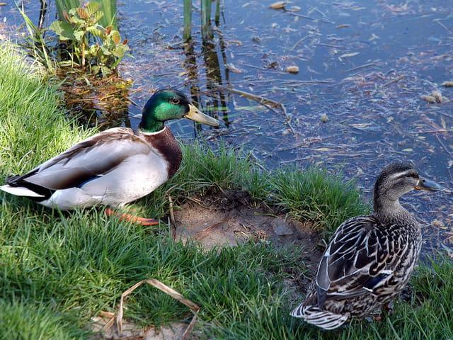 Les deux canards