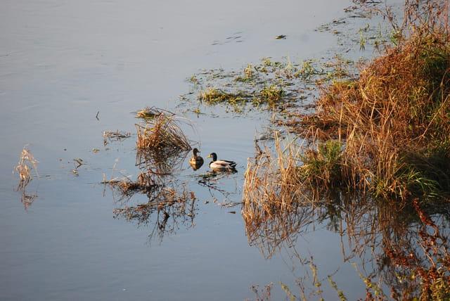 Les deux canards sauvages