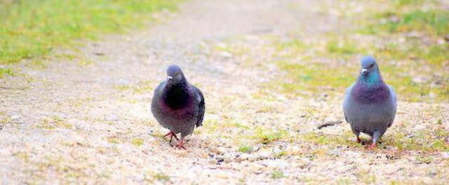 les deux pigeons en balade