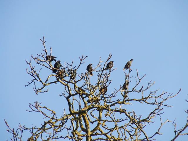 Les étourneaux dans l'arbre