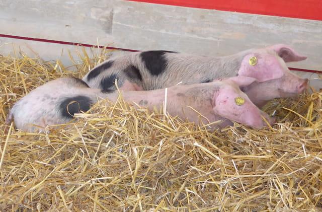 Les fêtes normandes - Les petits cochons de Bayeux