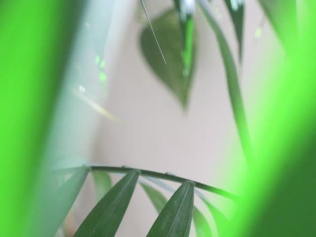 Les feuilles vertes d'Aréca