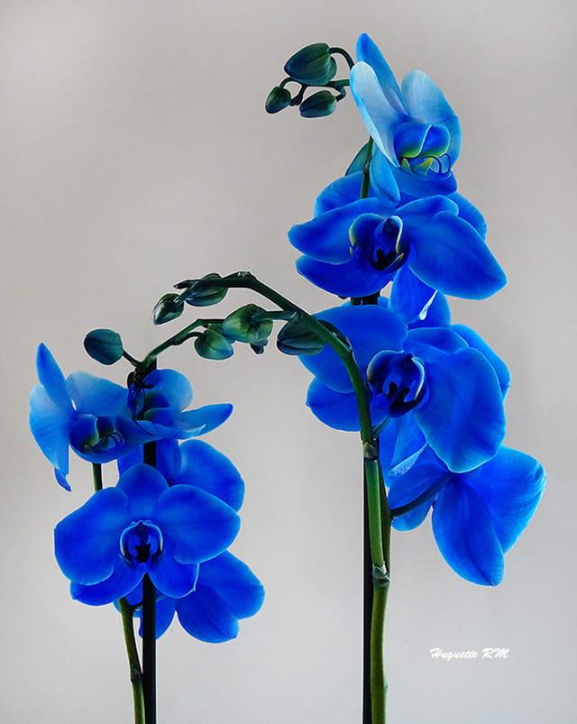 Les fleurs   bleus