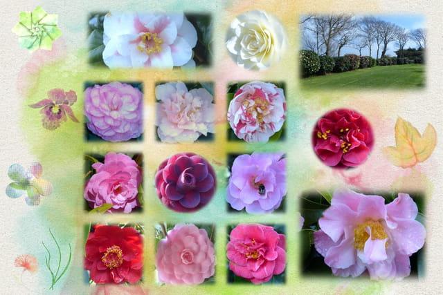Les fleurs de camélias