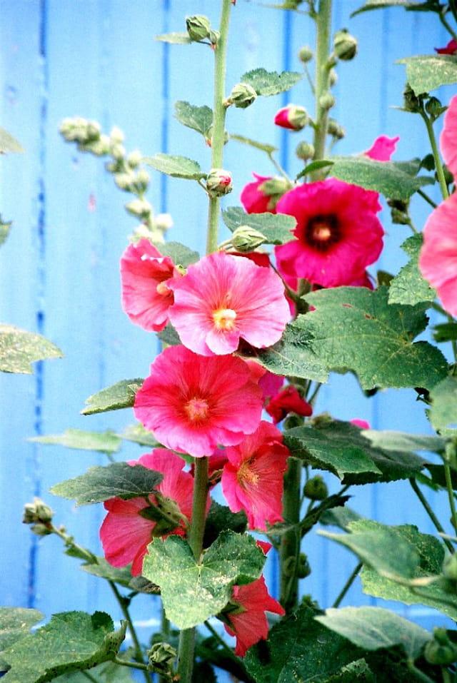 Les fleurs de l'Ile de Ré