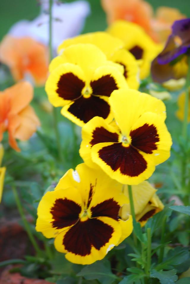 les fleurs de printemps