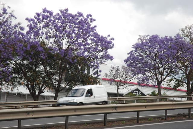 les jacarandas fleuris de la route des Tamarins