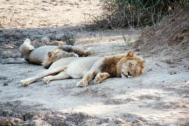 Les lions se reposent