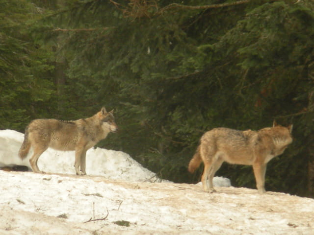 Les loups du parc alpha 2