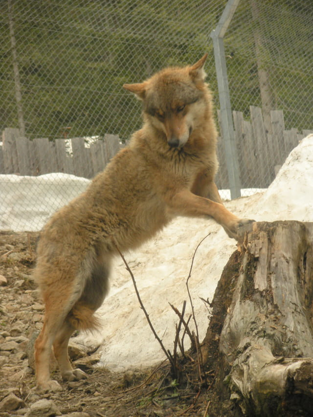 Les loups du parc alpha 3