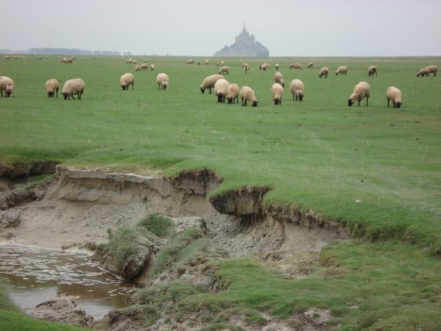 Les moutons de Mont St Michel