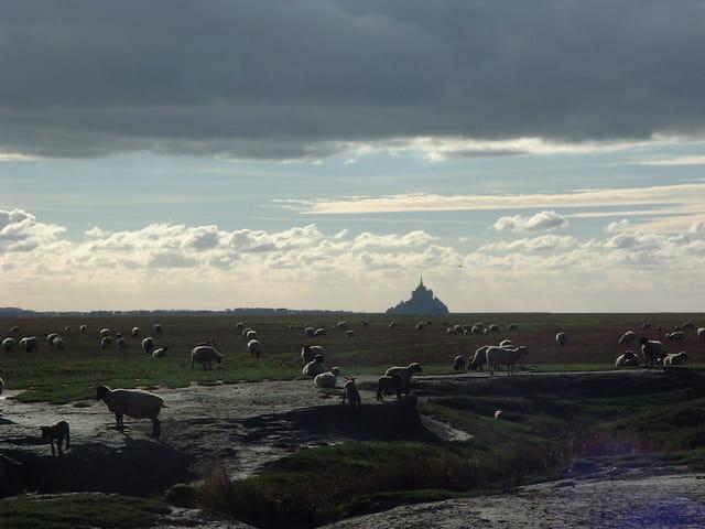 les moutons du Mt St Michel
