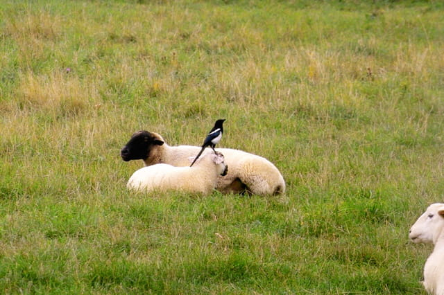 Les moutons et la pie