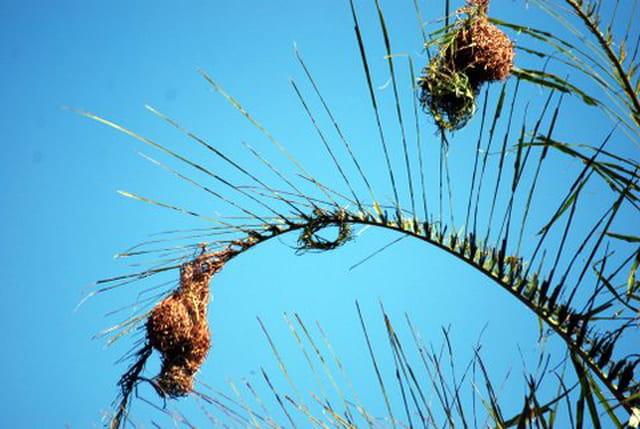 les nids des belliers de La Réunion