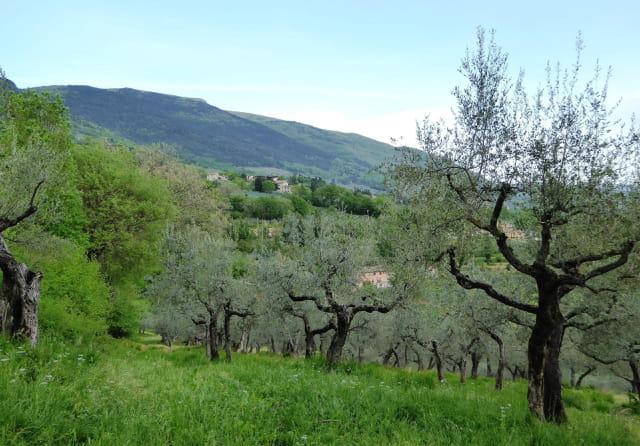 Les oliviers à Assise