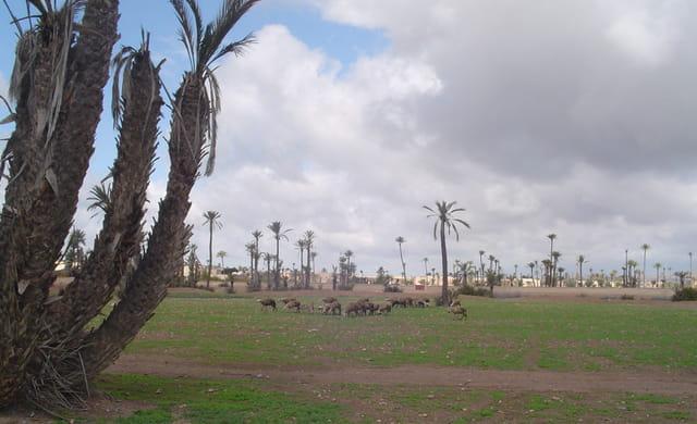Les palmiers de marrakech
