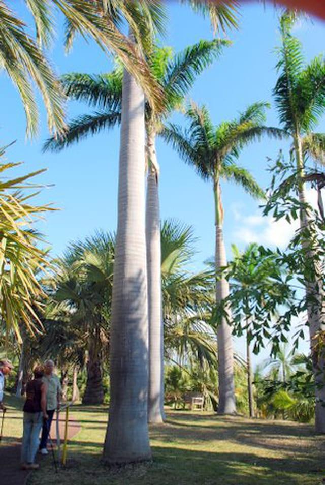 les palmiers du conservatoire national botanique de Mascarin