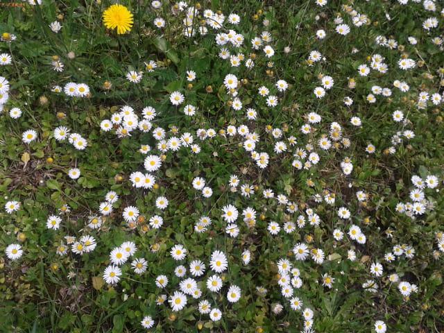Les pâquerettes fleurissent