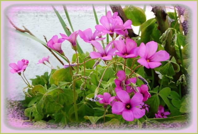 Les petites fleurs qui aiment le jour et se ferment la nuit