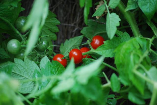 les petites tomates