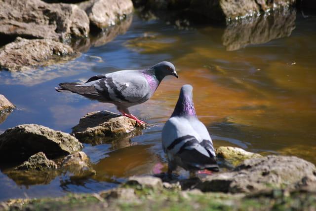 les pigeons au bord de l'eau