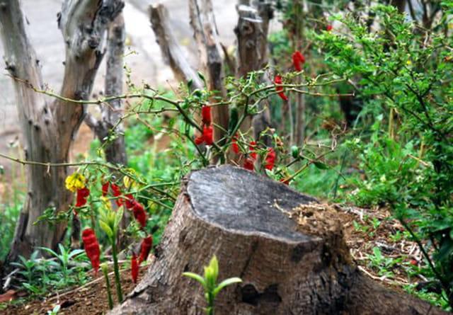 les piments rouges de La Réunion