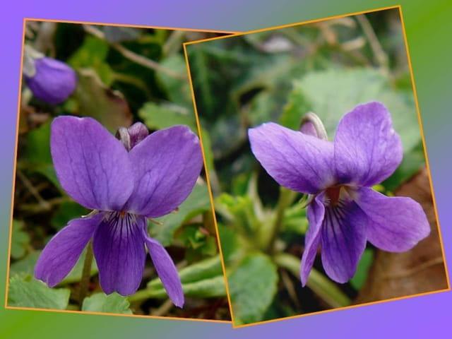 Les premières violettes dans mon  jardin