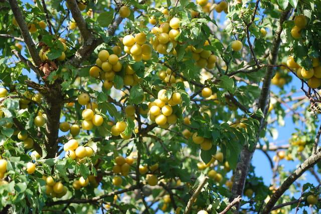 les prunes jaunes