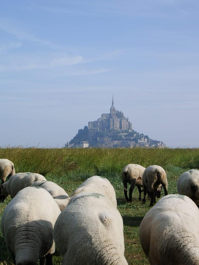 Les ptits moutons du mont st michel