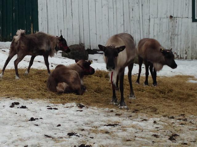 Les rennes de la ferme
