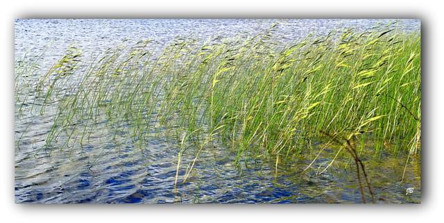 Les roseaux du lac...