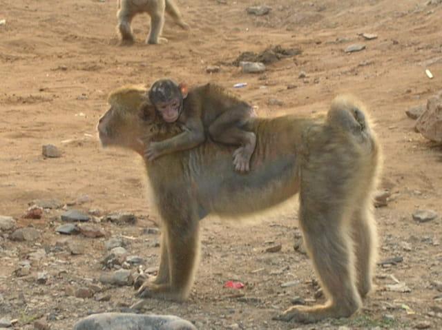 Les singes d'algerie