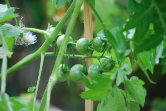 les tomates vertes