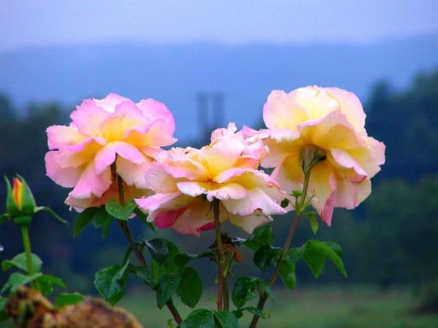 Les trois roses