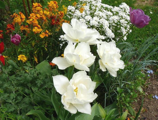 Les tulipes blanches dans le jardin
