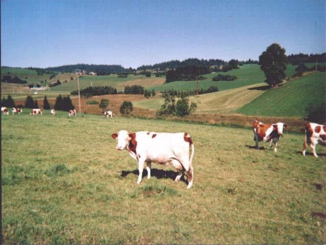 Les vache de gelins