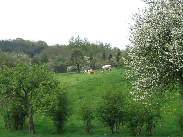 Les vaches a la campagne