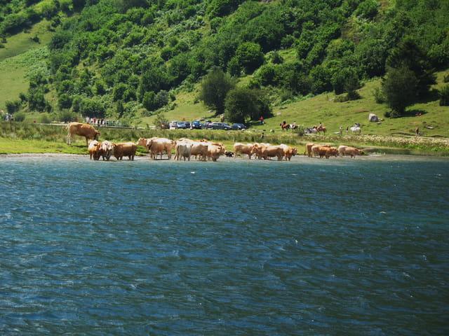 Les vaches au bain